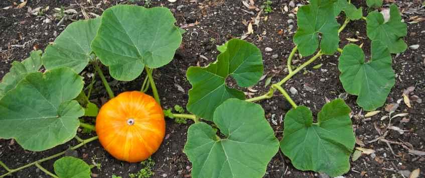 How To Grow Pumpkin